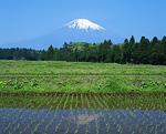 水田と富士山