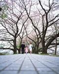 サクラ並木を歩く家族