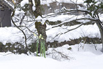 雪の庭とスイセン