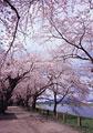 タイトル:桧木内川堤