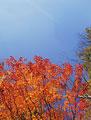 タイトル:志賀高原のカエデ