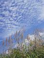 タイトル:野辺山高原のススキ