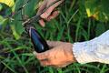 タイトル:ナスを収穫する手