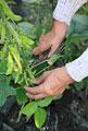 タイトル:豆を収穫する手