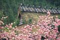 タイトル:日本家屋と桜