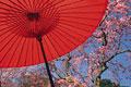 タイトル:番傘と桜