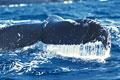 タイトル:ザトウクジラ