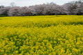 タイトル:菜の花畑と桜
