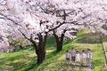 タイトル:桜とキッズ
