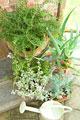 タイトル:玄関脇で育てているローズマリーやアロエ