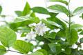タイトル:ジャスミンの花