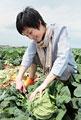 タイトル:キャベツを畑で収穫する女性