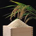 タイトル:米とマスと稲穂
