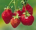 タイトル:イチゴ