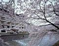 タイトル:温海温泉の旅館と桜