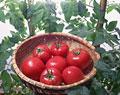 タイトル:7個のトマト