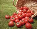 タイトル:山盛りのトマト