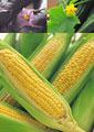 タイトル:夏野菜のイメージ・コラージュ