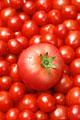 タイトル:一面のミニトマトとトマト