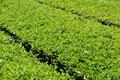 タイトル:茶畑