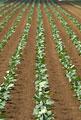 タイトル:キャベツ畑