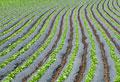 タイトル:レタス畑