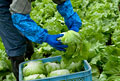 タイトル:レタスの収穫