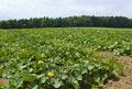 タイトル:カボチャ畑