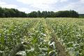 タイトル:トウモロコシ畑