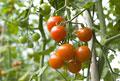 タイトル:トマト畑