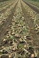 タイトル:タマネギ畑