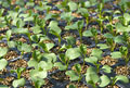 タイトル:ブロッコリーの苗
