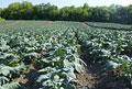 タイトル:ブロッコリー畑