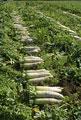 タイトル:ダイコン畑
