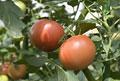 タイトル:トマト