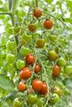 タイトル:ミニトマト