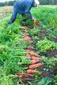 タイトル:ニンジンの収穫