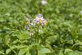 タイトル:ジャガイモの花
