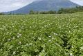 タイトル:ジャガイモ畑