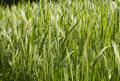 タイトル:稲