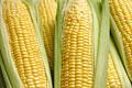 タイトル:一面のトウモロコシ