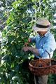 タイトル:Harvesting tomatoes