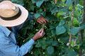 タイトル:Harvesting beans