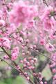 タイトル:桃の花