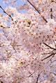 タイトル:桜の花