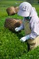 タイトル:茶摘み