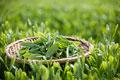 タイトル:茶畑と茶葉