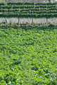タイトル:大根畑