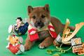 タイトル:柴犬の端午の節句イメージ