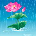 タイトル:雨中の蓮